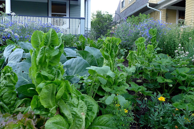 Bolting Little Gem lettuces, Edible Landscaping