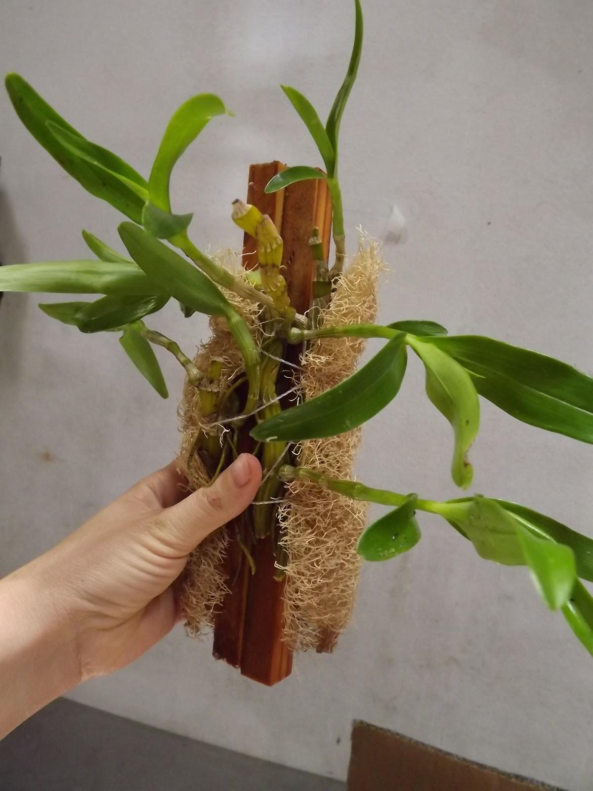MISTURADAS DICAS: Plantando dendrobium #485E12 1200x1600