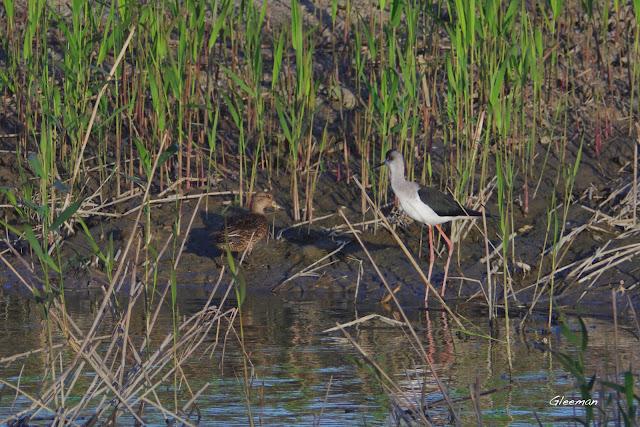 高蹺鴴。關渡自然公園。小水鴨