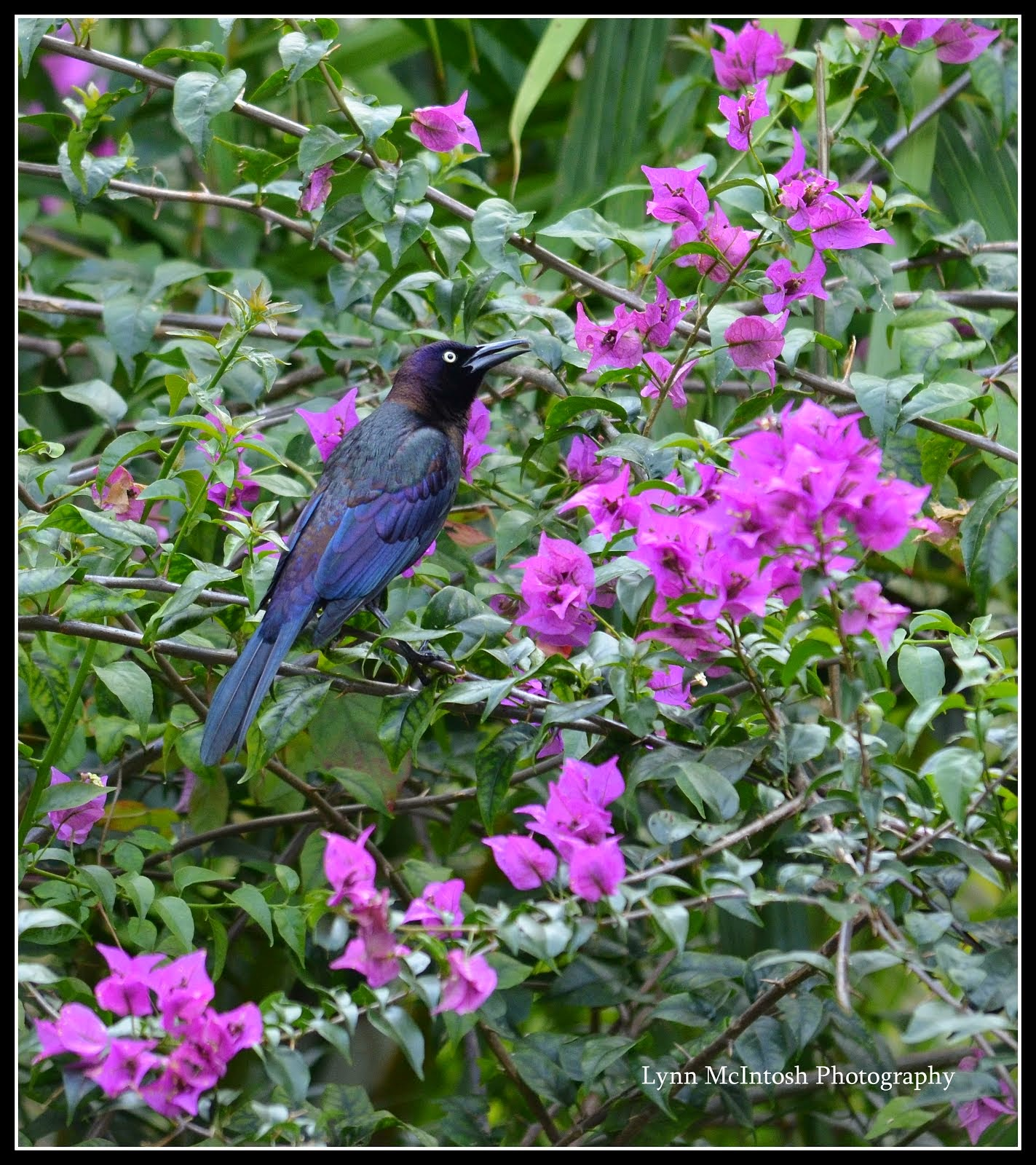 Grackle in Bougainvillea
