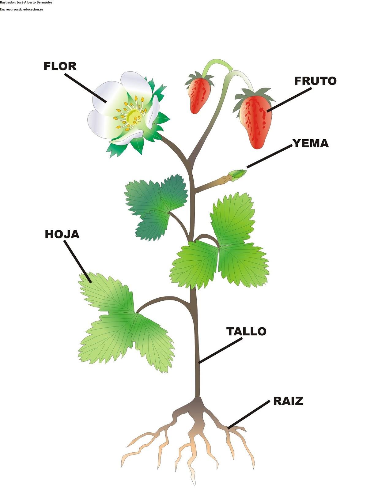 La planta y sus partes la planta y sus partes - Cuales son las plantas con flores ...
