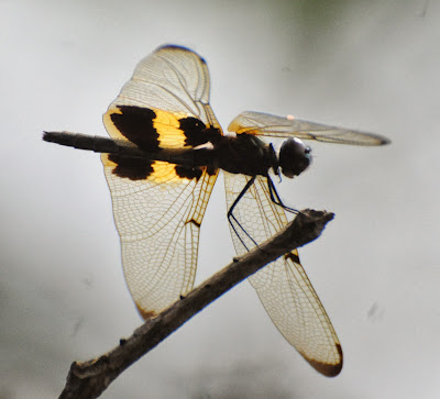 Rhyothemis phyllis