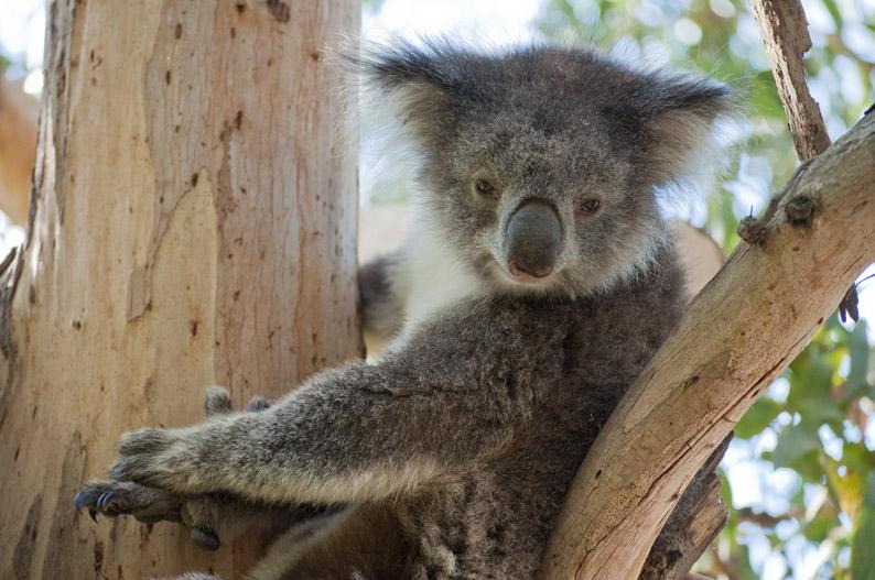 brauntown kennett river koala walk. Black Bedroom Furniture Sets. Home Design Ideas