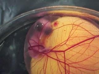 Embrio semakin jelas terlihat