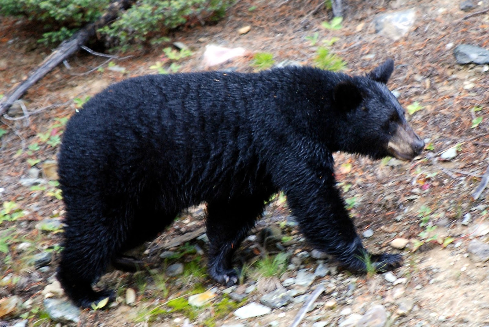 Black Bear Information Amp Latest Pictures Animals Lover