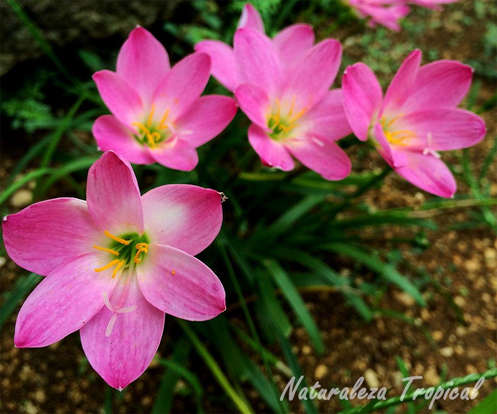 Naturaleza tropical 10 plantas bulbosas ideales para el for Plantas pequenas para jardin
