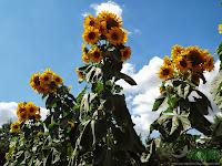 Skyscraper van gogh sunflowers