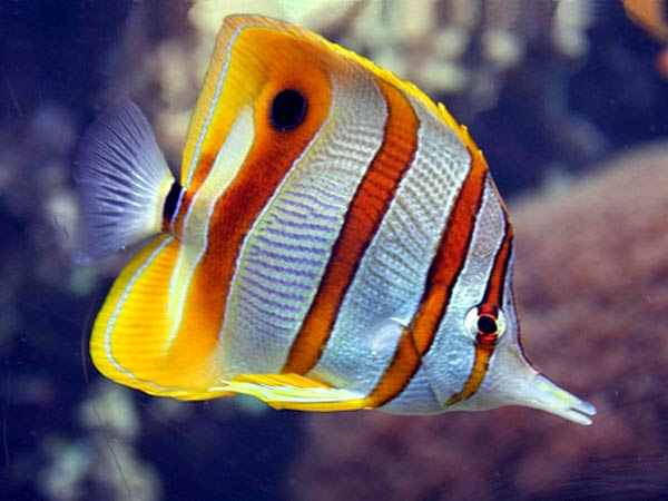 Info on striped butterfly fish congratulate, your