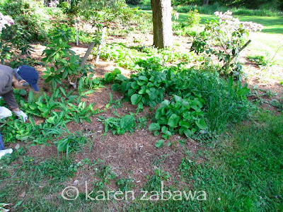 Weeds cover the soil in a rhododendron bed in spring.