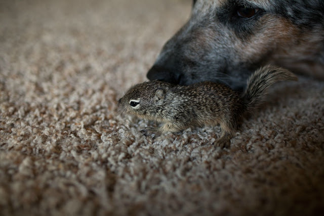 Rescued baby squirrel adopted by dogs, baby squirrel adopted by dogs, cute baby squirrel pictures, dog adopted squirrel, interspecies friends