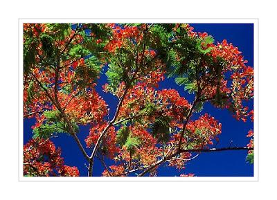 Flame tree Avarua