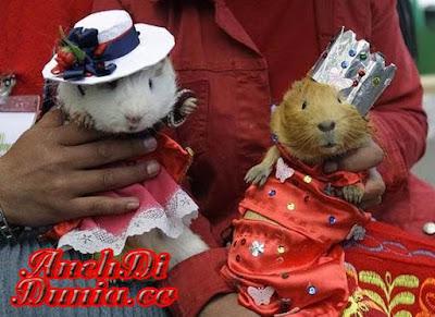 Mengenal Tikus Belanda