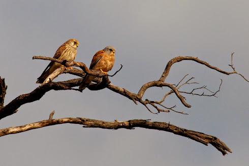 Lesser Kestrels (Hwange)