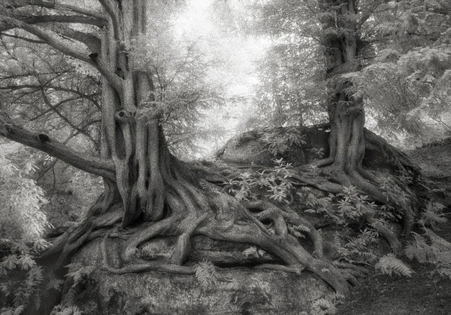 beth moon oldest living trees-9