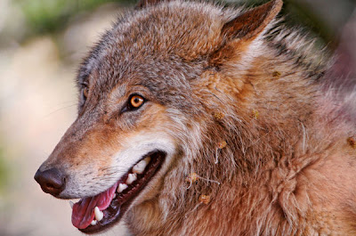 Himalayan Wolf pictures and life in nature