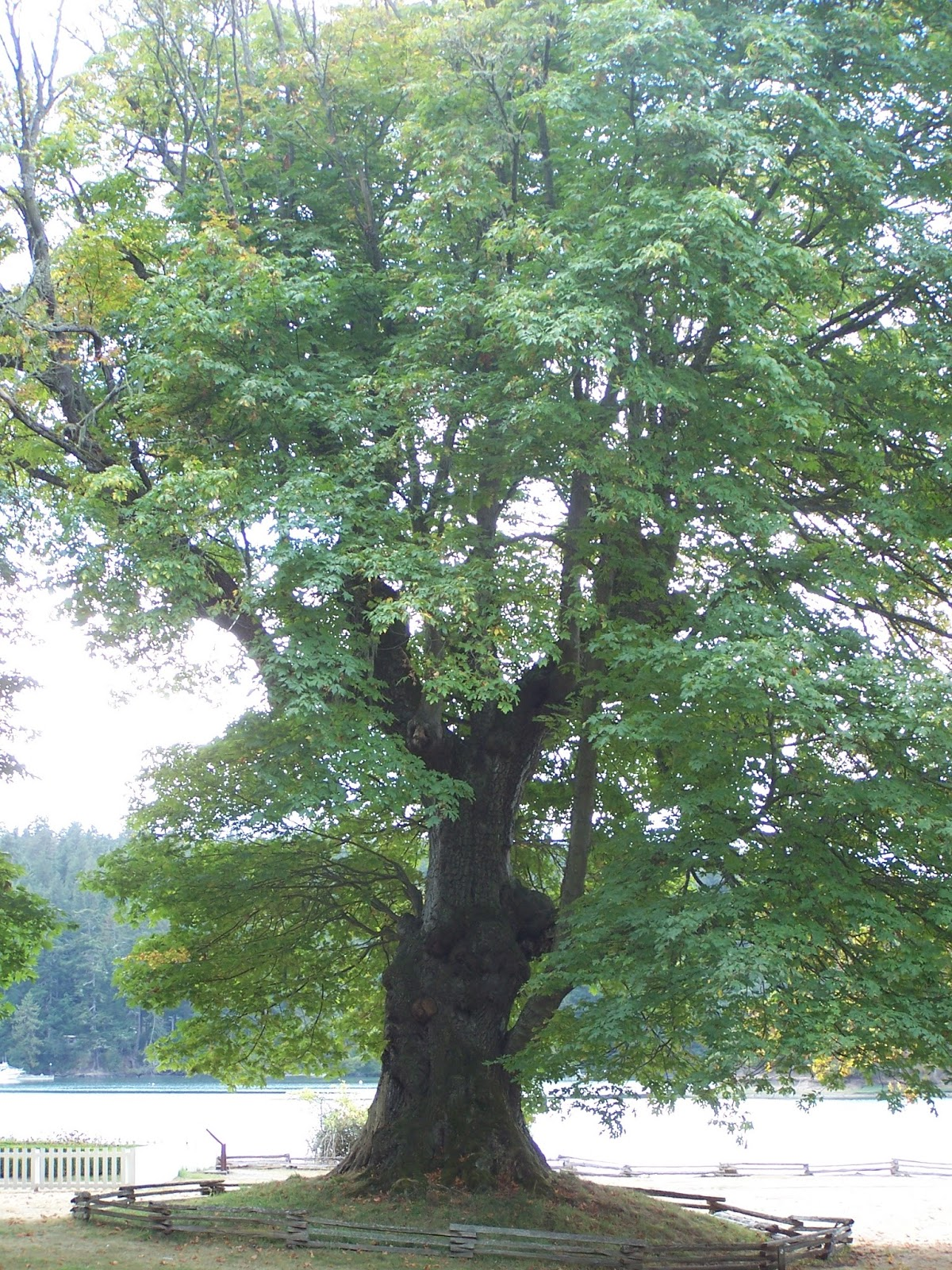 Identifying features These trees often have multiple trunks which are typically covered with moss and licorice fern and often sport large bulging knobs ... & A Day Without Rain : Deciduous Determinations: Learn to identify ...