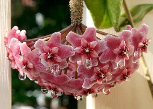 Flower Homes Hoya Flowers