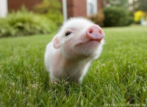 Type animal - What do miniature pigs eat ...