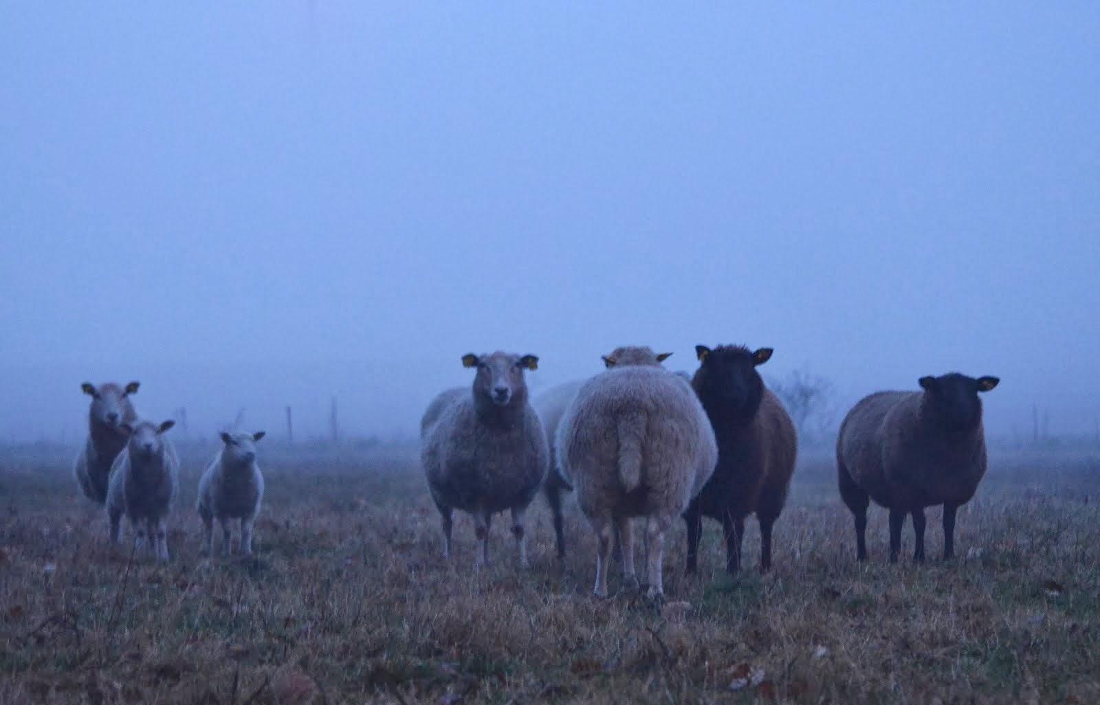 Våra får