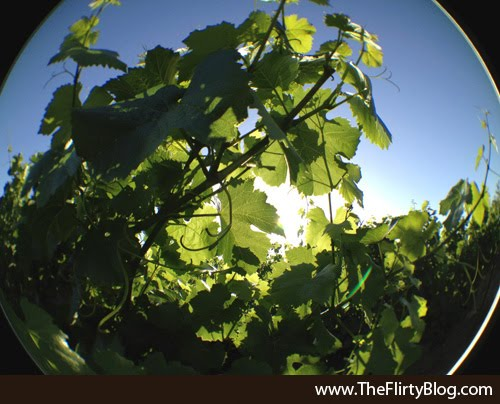 Grape Vines, Summer, Baker Ridge