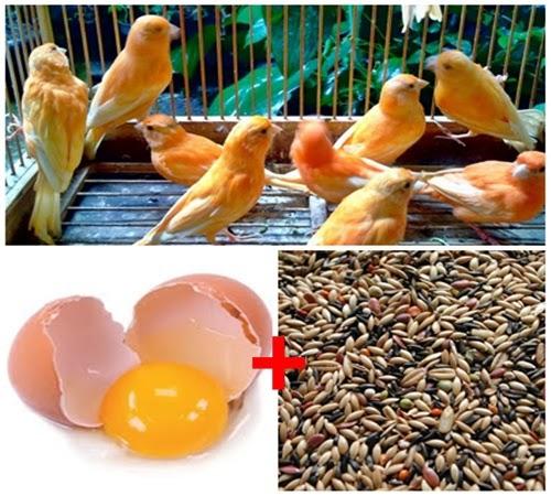 Membuat Pakan Burung Kenari Sendiri