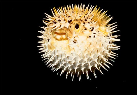 Bird flower and fish puffer fish for What is a puffer fish