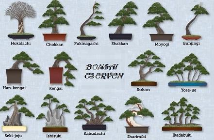 bonsai cserven