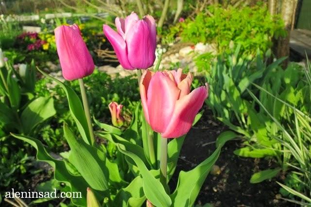 сорта тюльпанов, тюльпан, аленин сад, весенние луковичные, Розовые тюльпаны крупные