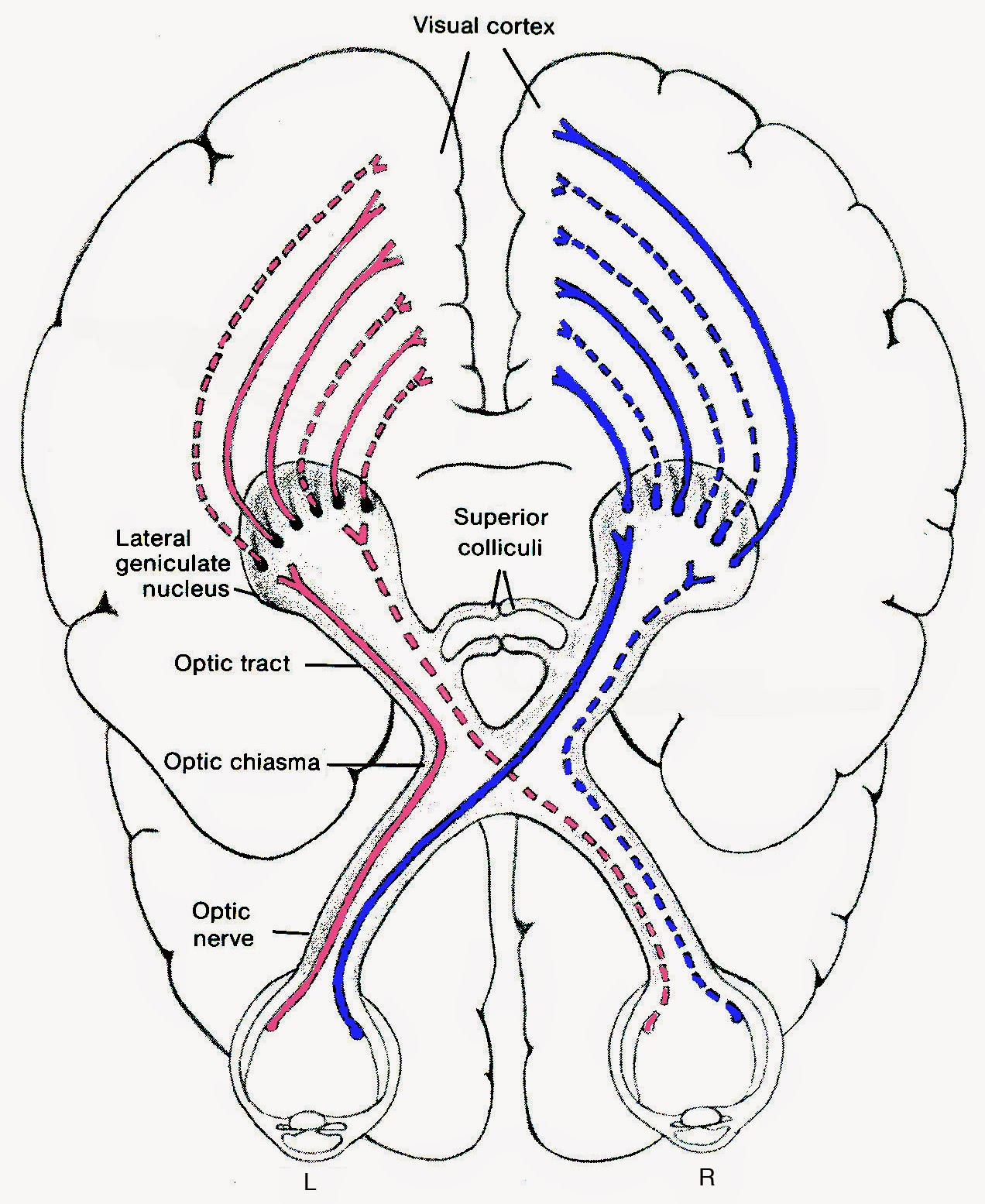 Optic Nerve Diagram Simple Question About Wiring Filesimple Of Human Eye Multilingualsvg Wikipedia The Deniz Yuret S Homepage On Emergence Visual Cortex Brain Location