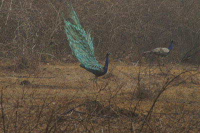 Indian peacock, Bandipur safari lodge