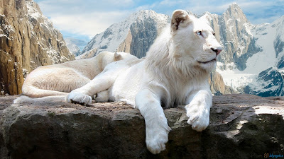 White Lion Pictures And Wallpapers