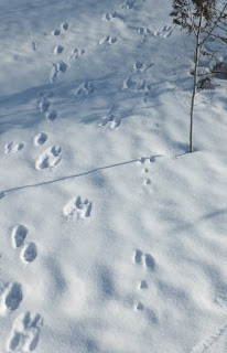 Rabbit and Squirrel tracks in snow