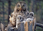 Owl Family in Forest
