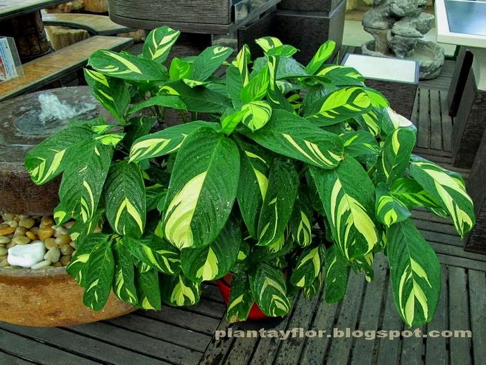 plantas y flores ctenanthe pilosa On plantas para ornamentacion