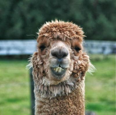 giggling alpaca