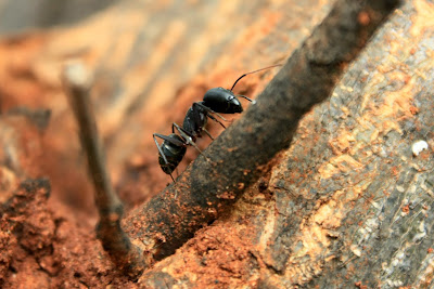 Ant near MM Hills, Karnataka