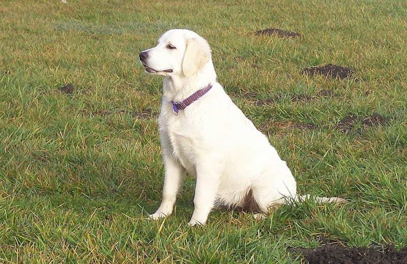 white colored golden retriever puppy sitting on the grass, looking very clean and docile