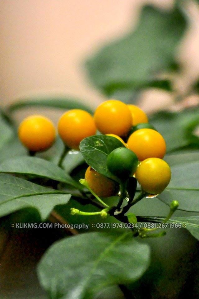 Buah Kersem Kuning yang Memikat di Tawangmangu - Photo oleh : KLIKMG.COM Photographer Indonesia