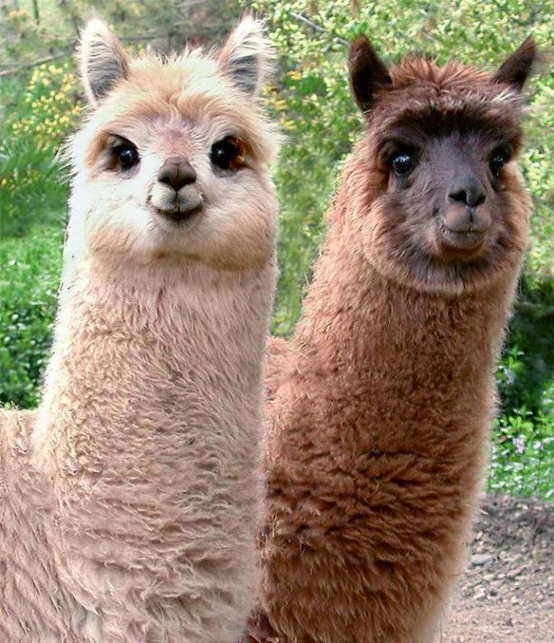 Funny Llama Images Funny Animal