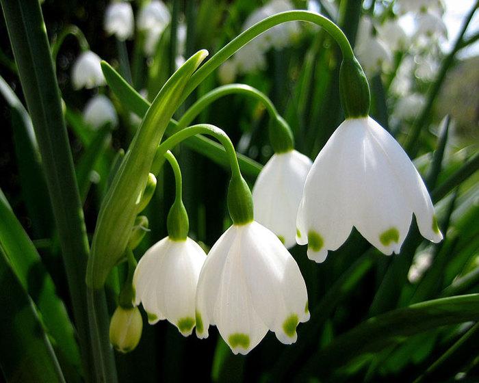 легенда о цветке, рассказ о первоцветнике, различия первоцветника и подснежника