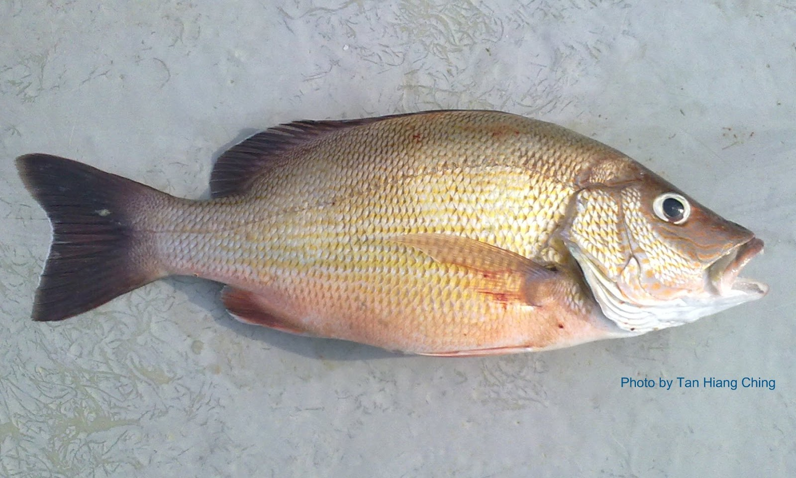 how to cook white snapper fish