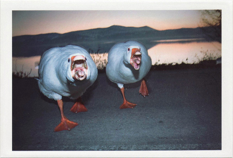 dirty photos - noah's ark fauna photo of two ducks marching aggressively