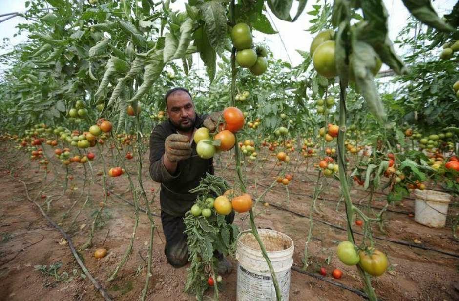 Agricultores de Gaza voltam a exportar para Israel após oito anos