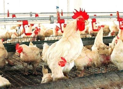 Giống gà Hubbard là giống gà lông trắng nổi tiếng nuôi lấy thịt.