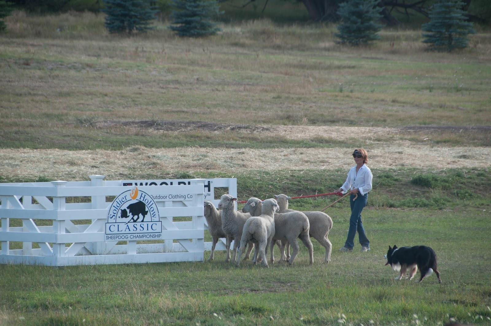 midway utah, sheep dogs, sheep, sheep dog festival, midway classic sheep dog festival, dog festival