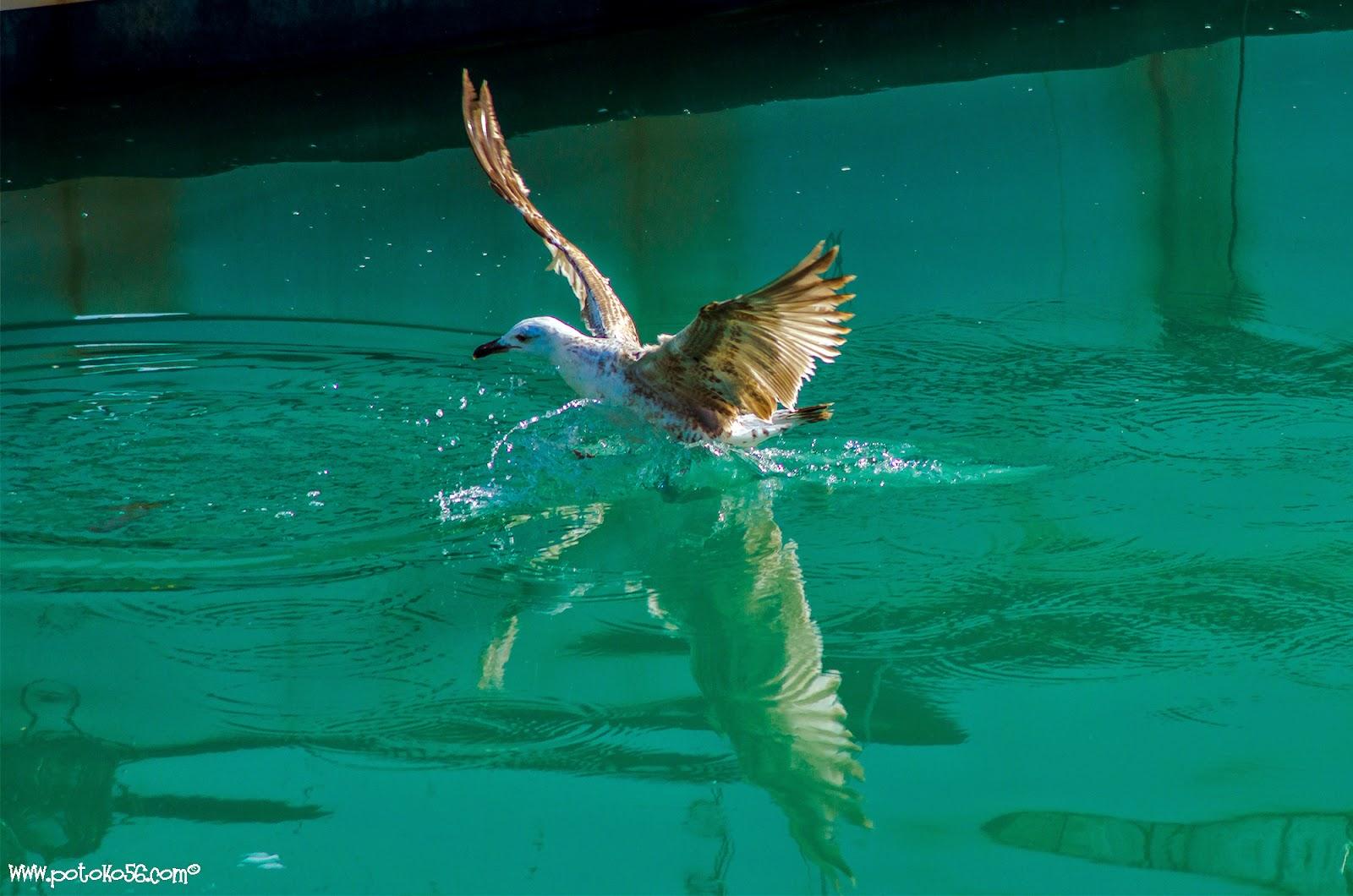 Una gaviota que vio como tiraban un pescado de la red se lanzó por el