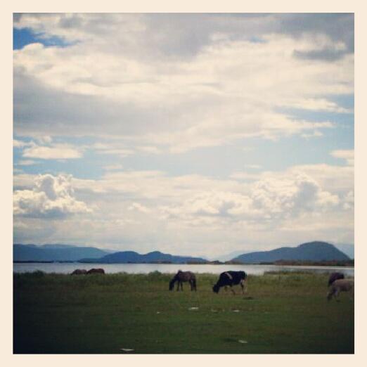 Vacas al costado de la laguna en Irámuco