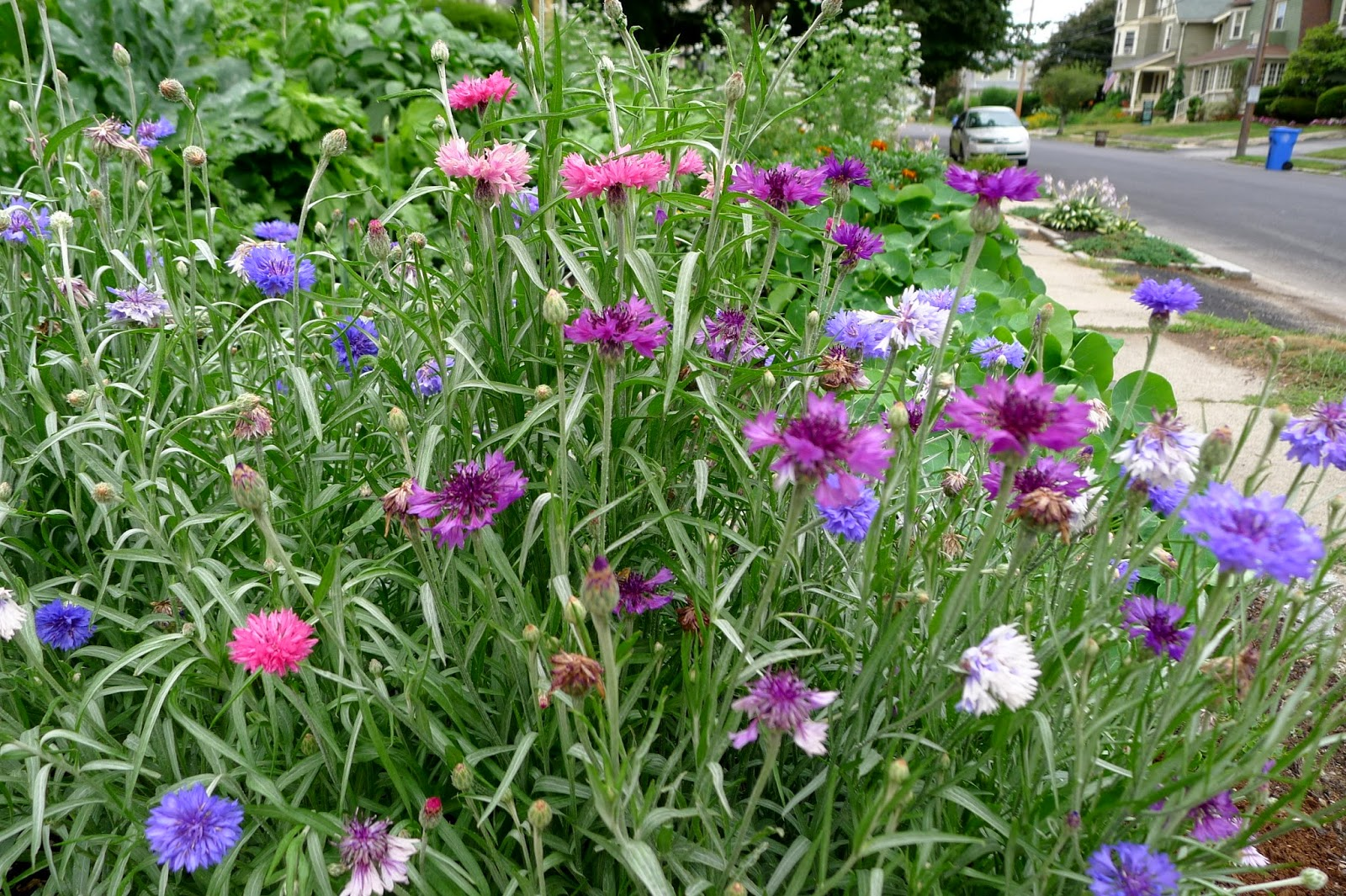Less Noise, More Green Edible Landscape Project, Dwarf Blend Batchelor's Buttons, Centaurea cyanus, annual, edible flower
