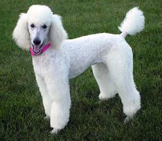 Poodle Dog White