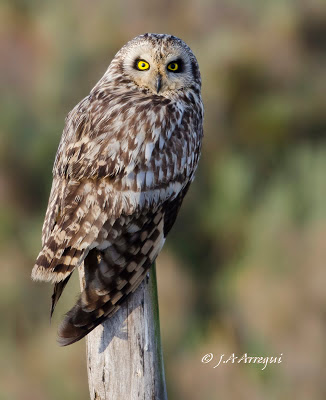 Lechuza campestre, Asio flammeus, Short-eared Owl